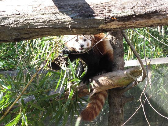 West Orange, Nueva Jersey: the red panda