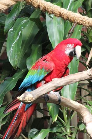 National Aviary : Green Winged Macao