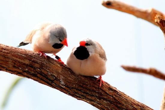 National Aviary : Shaft-tailed Finch - IMG_7262.JPG