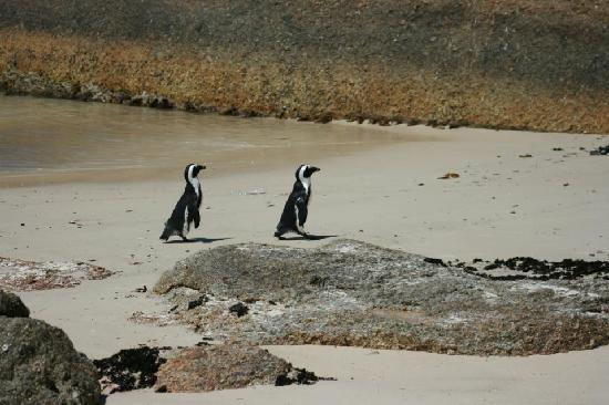 Boulders Beach: penguins!