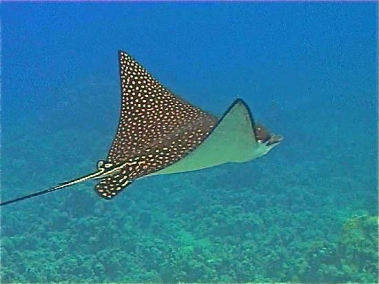 Manta Raya Picture Of Ras Mohamed National Park Sharm