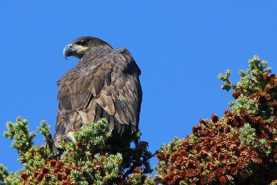 Dalton Trail Lodge: junger Weisskopfadler (weshalb er noch keinen weissen Kopf hat)
