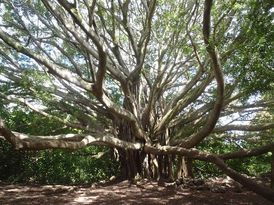 Pipiwai Trail: Banyan Tree along the Trail