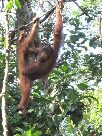 Semenggoh Nature Reserve: Hangin around...