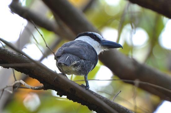 TikiVillas Rainforest Lodge & Spa : White-necked Puffbird - taken from the shower again!