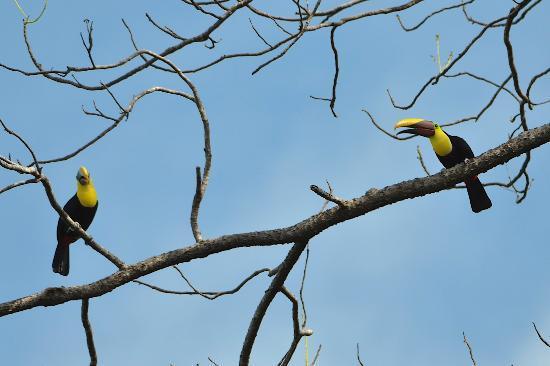 TikiVillas Rainforest Lodge & Spa : Chestnut-mandibled toucans - taken from reception area!