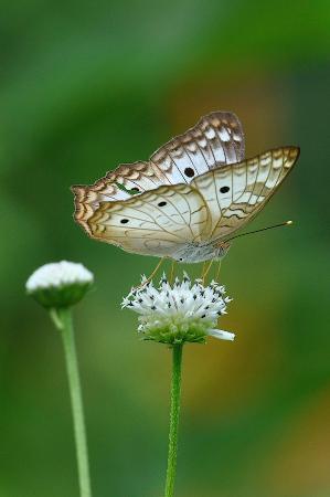 TikiVillas Rainforest Lodge & Spa : Unknown butterfly - taken on grounds