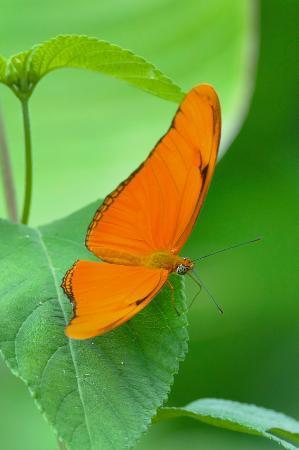 TikiVillas Rainforest Lodge & Spa : Unknown butterfly - taken in nearby field