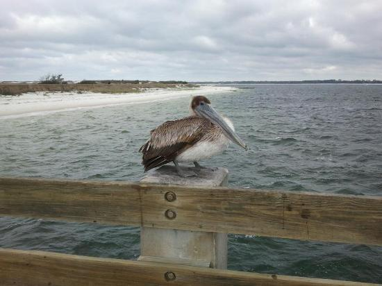 Fort Pickens Campground: The Pelicans got super close while fishing, even tried to steal the bait right off of the line!!