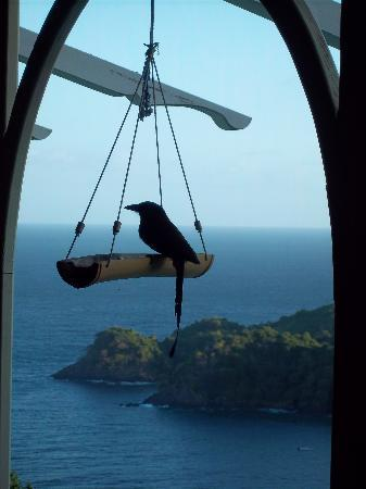 Paradise Point Villas: Motmot on feeder by patio