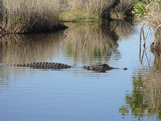 Capt Mitch's - Everglades Private Airboat Tours: un des nombreux alligators, vu de près