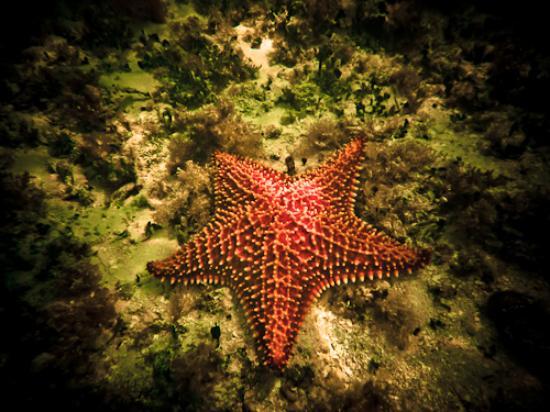 Iberostar Ensenachos: Starfish during snorkeling by the gazebo
