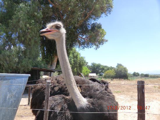 Oudtshoorn, Südafrika: Strauß
