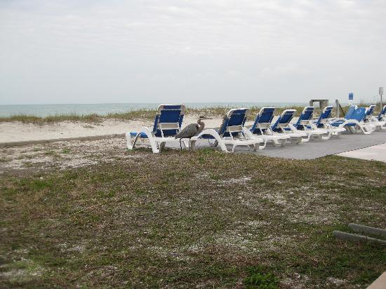 Belleair Beach Resort : loungers out front