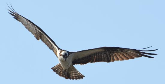 Sawgrass Lake Park: osprey searching for supper