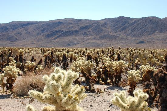 Blooming cholla picture of cholla cactus garden joshua - Cholla cactus garden joshua tree ...