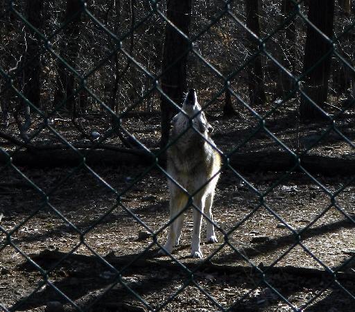 Lakota Wolf Preserve: howling
