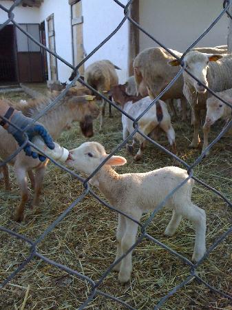 Agriturismo La Fonte : La signora Anna allatta l'agnellino