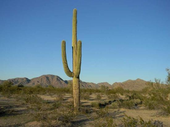 one of many saguaro cactus picture of sonoran desert