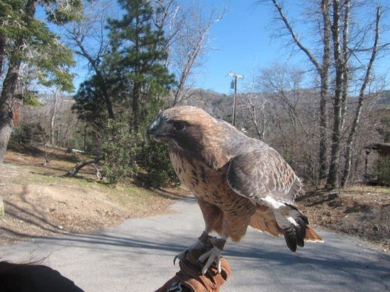 Lake Arrowhead, Californië: Red Tail Hawk