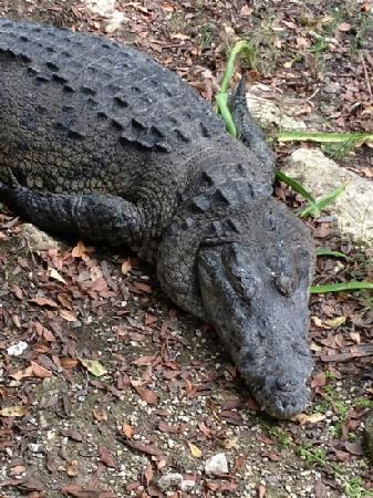 Grand Luxxe Riviera Maya: Crocodiles near the lagoon and the gulf course!