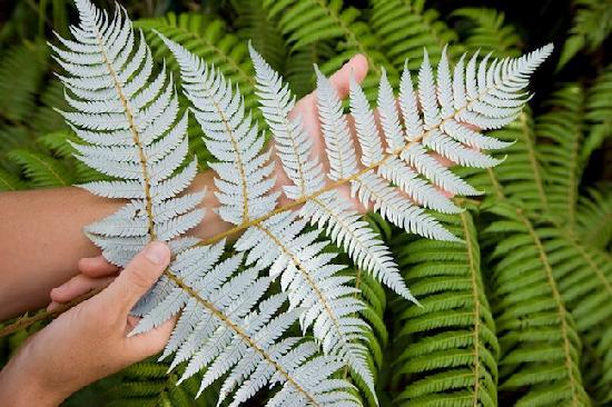 TIME Unlimited Tours : See New Zealand's national icon the Silver Fern