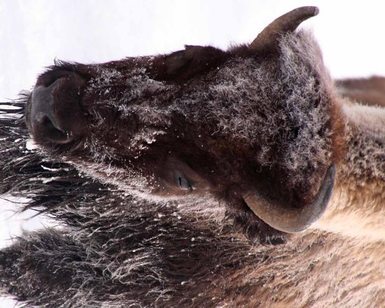 Yellowstone Adventures: the bison were quite close at times