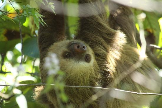 Mariposa Bed & Breakfast: photogenic sloth
