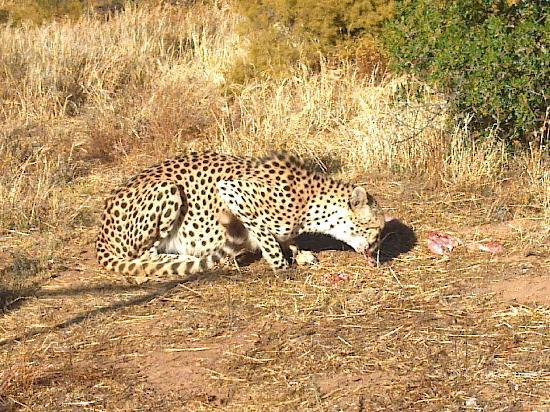 African Game Lodge: Cheetah mealtime