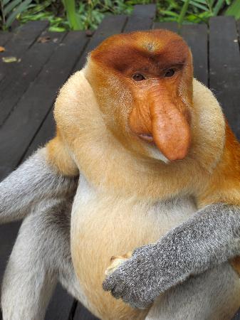 Labuk Bay Proboscis Monkey Sanctuary: In Your Face