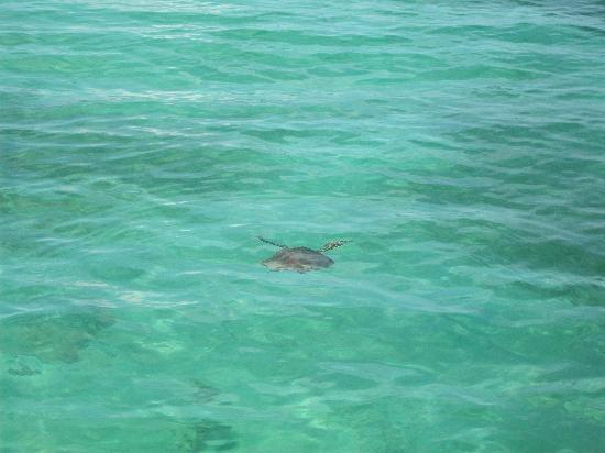 Green Island Resort: カメも泳いでいます