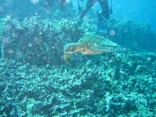 Blue Wilderness Dive Adventures : One of many turtles!!