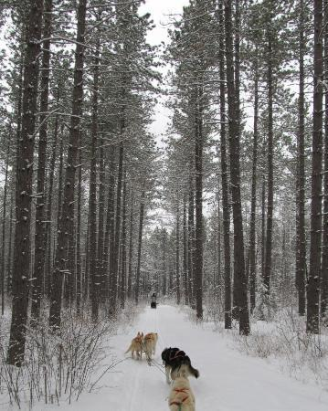 White Wilderness Sled Dog Adventures: Towering pines hug the trail