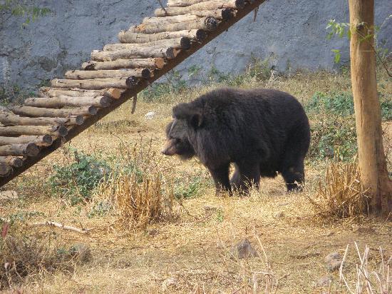 Nandankanan Zoological Park: Himalayan Bear