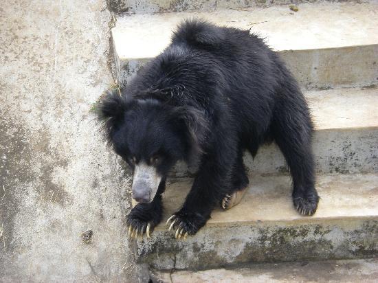 Nandankanan Zoological Park: Sloth Bear