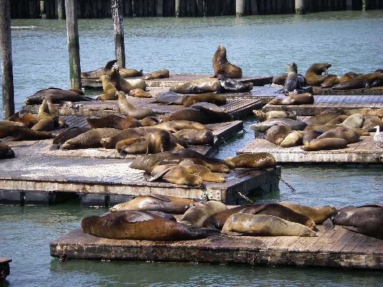 Sea Lions Picture Of San Francisco Bay San Francisco