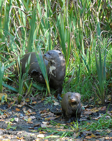 Chapel-en-le-Frith, UK: Giant Otter - mother and cub