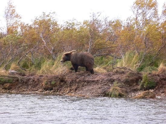 Americas Best Value Inn - Executive Suite Airport: Fall Bear Viewing