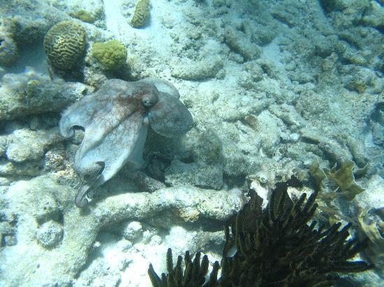 GOOOD Resort: Octopus found on Klein Bonaire drift trip