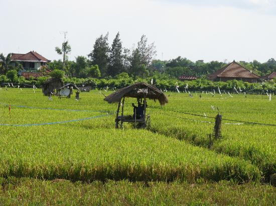 Rizières depuis le bungalow de Kubu Lalang