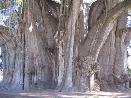 Tule Tree: Wonderful ancient tree!