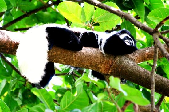 Mount Meru Game Lodge & Sanctuary: A frequent visitor to the lodge - the rare 'Black & White' Colobus Monkey.