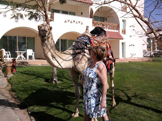 Movenpick Resort Taba : with the local camel
