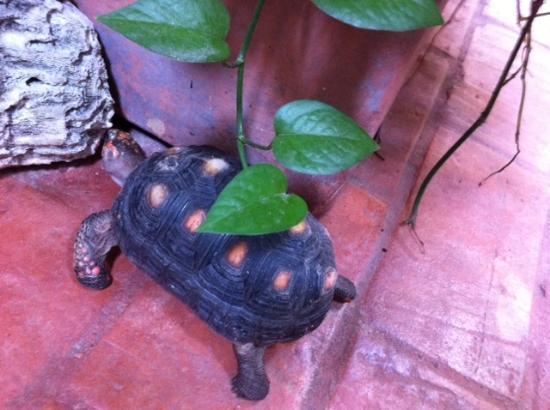 Les Lezards Bed & Breakfast: Resident turtle!