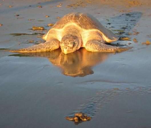 Casa Oro Eco Hostel: Sea Turtle Tour