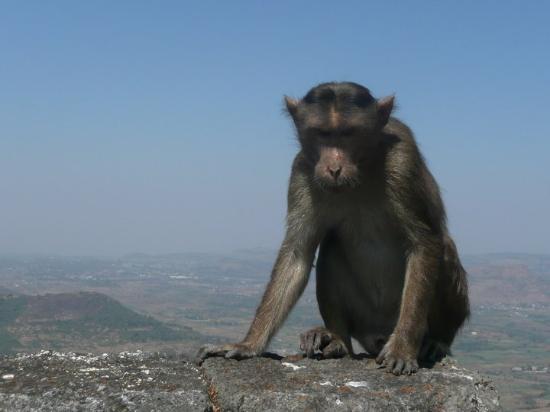 Visapur Fort: monkey - little buggers!