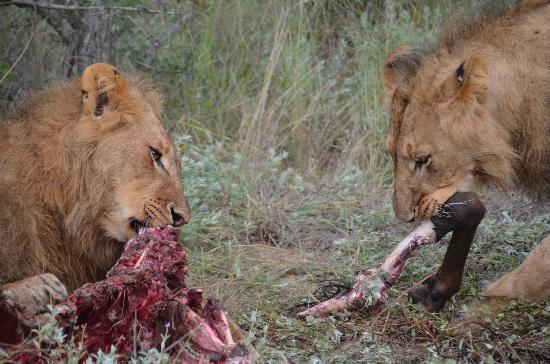 Kuname Lodge: lions at lunch