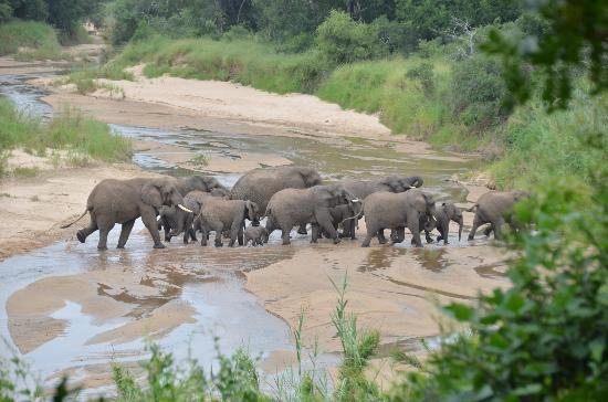 Kuname Lodge: elephant herd crossing the river