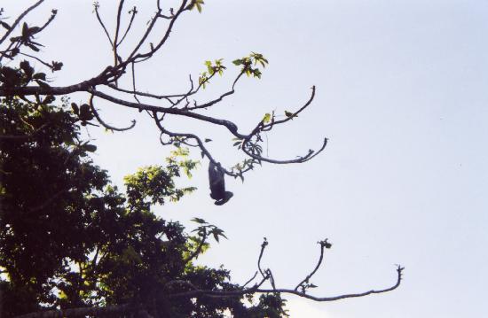 El Caracol Azul #1 & #2 : upsidedown monkey