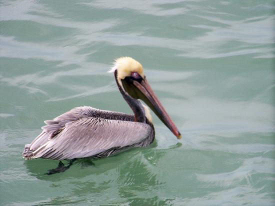 Fort De Soto Park: Watch the Pelicans fish